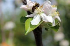Abeja en la flor en jardín Imagen de archivo libre de regalías