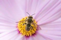 Abeja en la flor en naturaleza Foto de archivo