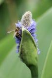 Abeja en la flor en naturaleza Imagen de archivo