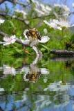 Abeja en la flor en rama de árbol con refections del agua Imagen de archivo libre de regalías