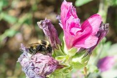 Abeja en la flor encogida 2 Imágenes de archivo libres de regalías