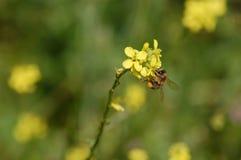 Abeja en la flor floreciente Fotografía de archivo libre de regalías