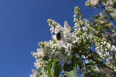 Abeja en la flor floreciente de la lila blanca Fotos de archivo libres de regalías