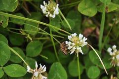 Abeja en la flor, flores del campo Imagen de archivo