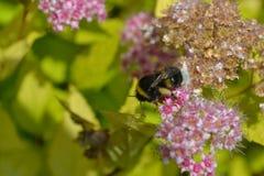 Abeja en la flor Fondo hermoso de la naturaleza Fotografía de archivo