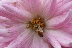 Abeja en la flor grande, cierre para arriba Fotografía de archivo