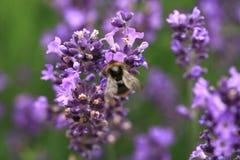 Abeja en la flor, macro Fotos de archivo libres de regalías