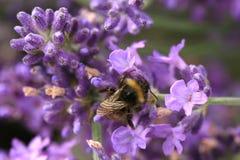 Abeja en la flor, macro Fotografía de archivo libre de regalías