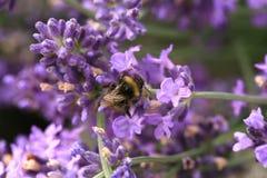 Abeja en la flor, macro Fotografía de archivo