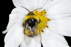 Abeja en la flor Macro Foto de archivo libre de regalías