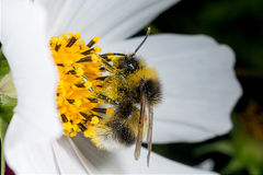 Abeja en la flor Macro Foto de archivo