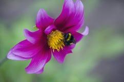 Abeja en la flor magenta Fotos de archivo libres de regalías