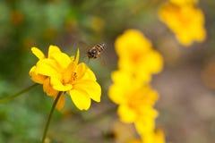 Abeja en la flor, néctar de consumición ocupado de la flor, flor dulce de la abeja con la abeja Imagen de archivo
