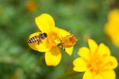 Abeja en la flor, néctar de consumición ocupado de la flor, flor dulce de la abeja con la abeja Foto de archivo libre de regalías