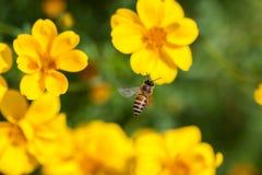 Abeja en la flor, néctar de consumición ocupado de la flor, flor dulce de la abeja con la abeja Fotografía de archivo