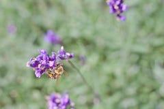 Abeja en la flor púrpura Imágenes de archivo libres de regalías
