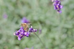Abeja en la flor púrpura Foto de archivo