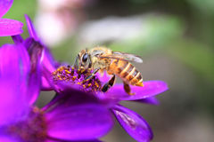 Abeja en la flor púrpura Fotos de archivo