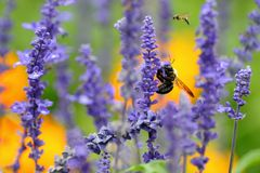 Abeja en la flor púrpura Imagen de archivo