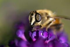 Abeja en la flor púrpura Fotos de archivo libres de regalías