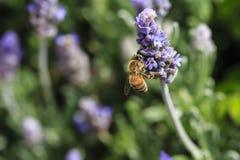 Abeja en la flor púrpura Foto de archivo libre de regalías