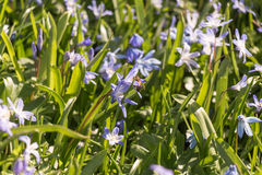 Abeja en la flor púrpura Fotografía de archivo libre de regalías