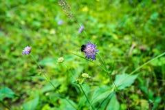 Abeja en la flor púrpura con las hojas verdes Fotos de archivo libres de regalías