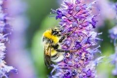 Abeja en la flor púrpura en jardín en verano Imagen de archivo
