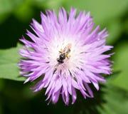 Abeja en la flor púrpura en naturaleza Fotografía de archivo