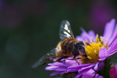 Abeja en la flor púrpura Profundidad del campo baja Foto de archivo