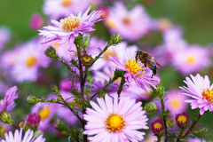 Abeja en la flor púrpura Profundidad del campo baja Imagenes de archivo