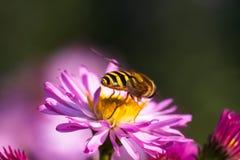 Abeja en la flor púrpura Profundidad del campo baja Imagen de archivo