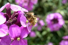 Abeja en la flor púrpura rosada Foto de archivo libre de regalías