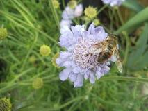 Abeja en la flor púrpura en un jardín Fotos de archivo
