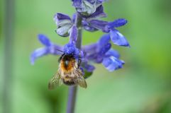 Abeja en la flor púrpura en un parque urbano Fotos de archivo libres de regalías