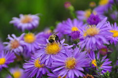 Abeja en la flor púrpura y amarilla que recoge un néctar Fotografía de archivo