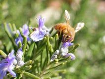 Abeja en la flor púrpura y las hojas verdes, tiro macro el día soleado Fotos de archivo libres de regalías