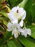 Abeja en la flor - Puerto Rico Imagenes de archivo