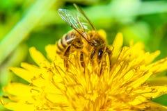 Abeja en la flor que busca la comida Imagen de archivo