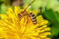 Abeja en la flor que busca la comida Foto de archivo libre de regalías