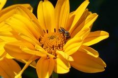 Abeja en la flor que recoge el néctar Abeja de la miel en diasy amarillo Imagen de archivo libre de regalías
