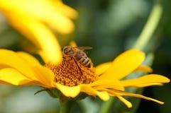 Abeja en la flor que recoge el néctar Abeja de la miel en diasy amarillo Imagenes de archivo