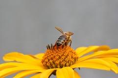 Abeja en la flor que recoge el néctar Abeja de la miel en diasy amarillo Foto de archivo