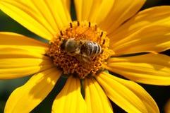 Abeja en la flor que recoge el néctar Abeja de la miel en diasy amarillo Fotografía de archivo