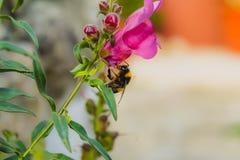 Abeja en la flor que recoge el polen imagenes de archivo