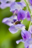 Abeja en la flor que recoge el polen Imagen de archivo libre de regalías