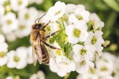 Abeja en la flor que recoge el polen Imágenes de archivo libres de regalías