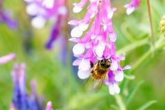 Abeja en la flor que recoge el polen Imagen de archivo