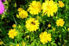 Abeja en la flor, abeja que recoge la miel Imagen de archivo libre de regalías