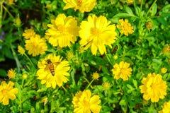 Abeja en la flor, abeja que recoge la miel en la flor Fotografía de archivo